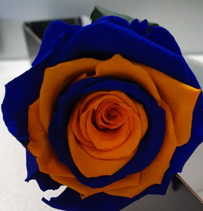 West Coast Eagles Preserved Rose
