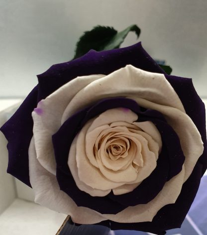 Dockers Preserved Rose