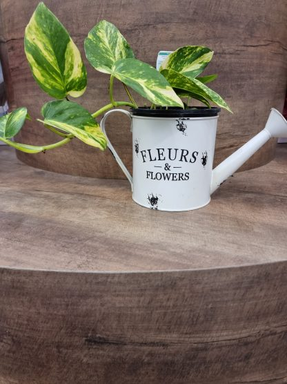 Devils ivy in a rustic watering can