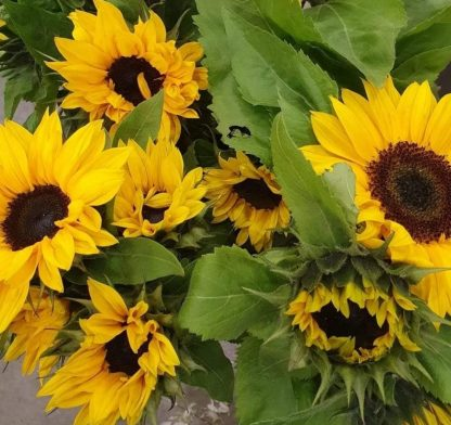 sunflower wraps
